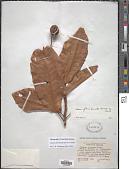 view Sloanea floribunda Spruce ex Benth. digital asset number 1