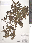 view Waltheria acuminata Rose digital asset number 1