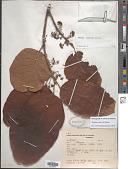 view Sloanea eichleri K. Schum. digital asset number 1
