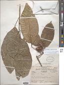 view Sloanea petenensis Standl. & Steyerm. digital asset number 1