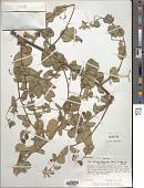view Helinus mystacinus (Aiton) E. Mey. ex Steud. digital asset number 1
