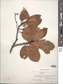view Elaeocarpus sp. digital asset number 1