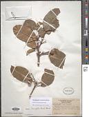 view Sloanea brachytepala Ducke digital asset number 1