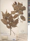 view Elaeocarpus merrittii Merr. digital asset number 1