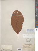 view Sloanea tuerckheimii Donn. Sm. digital asset number 1