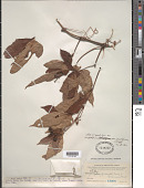 view Ampelopsis delavayana var. gentiliana (H. Lév. & Vaniot) Hand.-Mazz. digital asset number 1