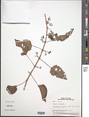 view Cissus sicyoides L. digital asset number 1