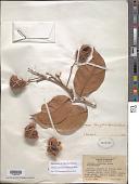 view Sloanea durissima digital asset number 1
