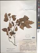 view Vallea pubescens Kunth digital asset number 1