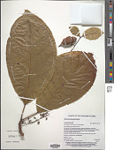 view Elaeocarpus kusaiensis Kaneh. digital asset number 1