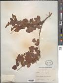 view Vitis arizonica Engelm. digital asset number 1