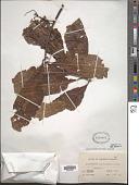 view Elaeocarpus carolinensis Koidz. digital asset number 1