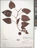 view Cissus biformifolia Standl. digital asset number 1