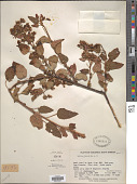 view Vallea stipularis L. f. digital asset number 1