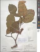 view Sloanea guianensis subsp. stipitata (Spruce ex Benth.) T.D. Penn. digital asset number 1