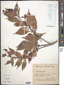 view Elaeocarpus mastersii King digital asset number 1