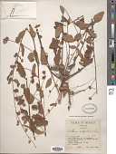 view Waltheria acapulcensis Rose digital asset number 1