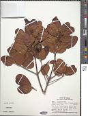 view Sloanea terniflora digital asset number 1