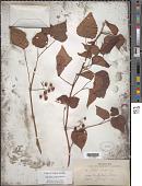 view Ampelopsis cordata Michx. digital asset number 1