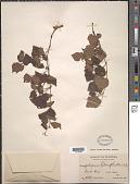 view Ampelopsis heterophylla Blume digital asset number 1