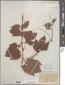 view Vitis acerifolia Raf. digital asset number 1