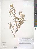 view Neuradopsis austroafricana Bremek. & Oberm. digital asset number 1