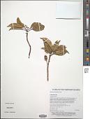 view Elaeocarpus kerstingiana Schltr. digital asset number 1