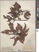 view Elaeocarpus glandulifer digital asset number 1