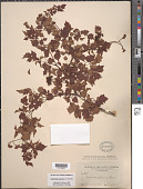 view Ampelopsis arborea (L.) Koehne digital asset number 1