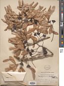 view Pterocymbium tinctorium Merr. digital asset number 1