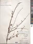 view Waltheria sp. digital asset number 1