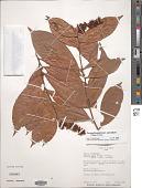 view Campylospermum sulcatum (Tiegh.) Farron digital asset number 1