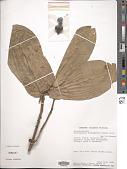 view Rhaptopetalum pachyphyllum (Gürke) Engl. digital asset number 1