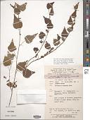 view Byttneria herbacea Roxb. digital asset number 1
