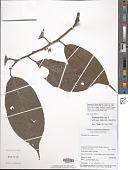 view Leptonychia kamerunensis Engl. & K. Krause digital asset number 1
