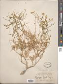 view Amphipappus fremontii Torr. & A. Gray digital asset number 1