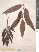 view Schumacheria angustifolia Hook. f. & Thomson digital asset number 1