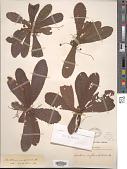 view Acrotrema uniflorum var. bullatum (Thwaites) Hook. f. & Thomson digital asset number 1