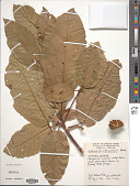view Sterculia palauensis Kaneh. digital asset number 1