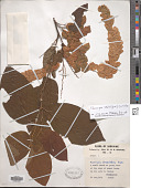 view Flemingia strobilifera (L.) R. Br. digital asset number 1