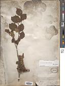 view Corylus cornuta var. californica Marshall digital asset number 1