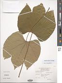 view Firmiana simplex (L.) W. Wight digital asset number 1