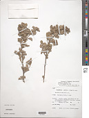 view Waltheria calcicola Urb. digital asset number 1