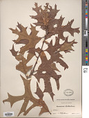 view Quercus laevis Walter digital asset number 1