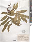 view Carya cordiformis (Wangenh.) K. Koch digital asset number 1
