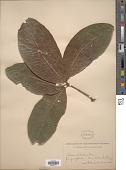 view Quercus imbricaria Michx. digital asset number 1