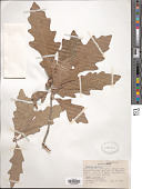 view Quercus durandii digital asset number 1