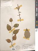 view Betula nigra L. digital asset number 1