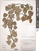 view Betula pendula Roth digital asset number 1