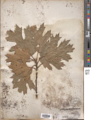 view Quercus kelloggii Newb. digital asset number 1